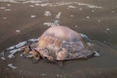Barrel jellifish Rhizostoma pulmo beached at sunset Stock Photography