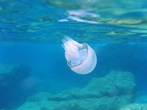 Barrel jellyfish Royalty Free Stock Photo