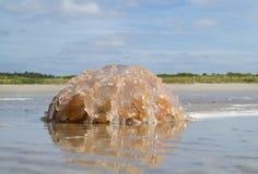 Barrel jellyfish Royalty Free Stock Photo