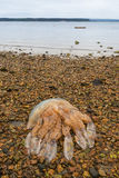 Barrel Jellyfish washed up on a Poole beach Royalty Free Stock Photos