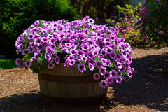 Barrel of Purple Petunias. A large barrel of purple petunias at the height of their glory in springtime Stock Image