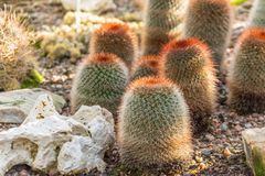Barrel-shaped cactus with red spines in the ground.  stock photos