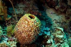 Barrel Sponge royalty free stock photos