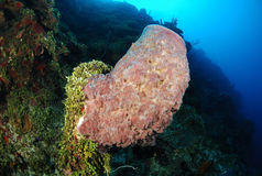 Barrel sponge coral Stock Photography