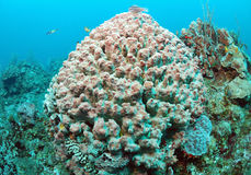 Barrel sponge in coral reef Stock Photos