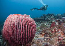 Barrel sponge and diver Stock Photography