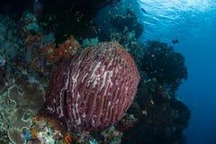 Barrel Sponge on Healthy Reef Stock Photos