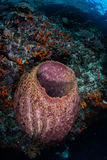 Barrel Sponge on Tropical Pacific Reef Stock Images