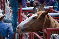 Barrell Racer. A wild rodeo horse in the gate, at the Hairy Hill Rodeo, Hairy Hill, Alberta, July 5, 2014 stock photography
