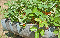 Barrell of Unripened Strawberry Plants. This container garden is a half wood barrel crate filled with strawberry plants, where the strawberries are still unripe royalty free stock photography