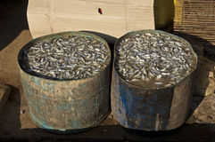 Barrels with fresh fish for curing in salt water Royalty Free Stock Images