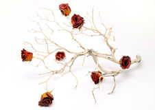 Barren Branch with Rose Buds. A barren branch with dried roses photographed in studio Stock Images
