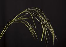 Barren Brome. Stock Photos