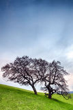 Barren dry tree on green hillside pasture. Useful as background. Stock Images