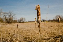 Barren field cattails Royalty Free Stock Photo