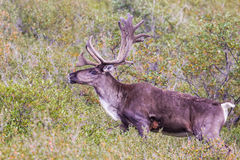 Barren-Ground Caribou. Adult Male Barren Ground Caribou Standing In Tundra Brush, Denali National Park and Preserve stock photos
