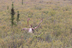 Barren Ground Caribou Bull in Alaska in Fall Royalty Free Stock Photography