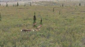 Barren Ground Caribou Bull. A barren ground caribou bull in Denali National Park Alaska stock video