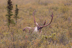 Barren Ground Caribou Bull in Early Fall Royalty Free Stock Image