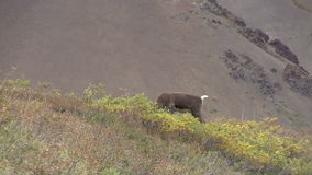 Barren Ground Caribou Bull Feeding. A barren ground caribou bull in velvet in Denali National Park Alaska stock footage
