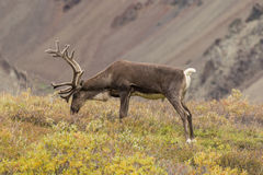 Barren Ground Caribou Bull Grazing Stock Photos
