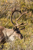 Barren Ground Caribou Bull Portrait Royalty Free Stock Photography