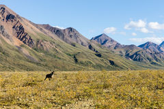 Barren Ground Caribou Bull on the Tundra Stock Photography