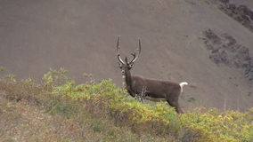 Barren Ground Caribou bull stock video