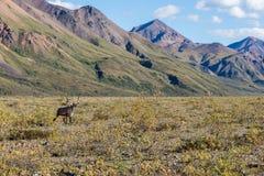 Barren Ground Caribou Bull in Velvet Stock Photography