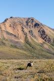 Barren Ground Caribou Bull Stock Photo