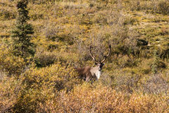 Barren Ground Caribou Bull Stock Photography