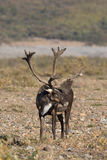 Barren Ground Caribou Bull Stock Image