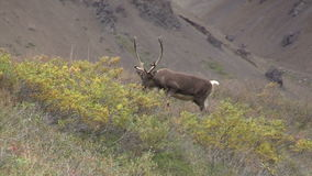 Barren Ground Caribou Bull stock footage
