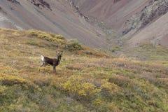 Barren Ground Caribou Bull in Velvet Royalty Free Stock Image