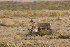 Barren Ground Caribou Bull Royalty Free Stock Images