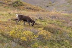 Barren Ground Caribou Bull in Velvet Grazing Royalty Free Stock Photos