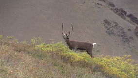 Barren Ground Caribou Bull in Velvet Zoom in stock video footage