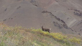Barren Ground Caribou Bull in Velvet Zoom Out stock video