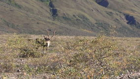 Barren Ground Caribou Bull Zoom in stock video