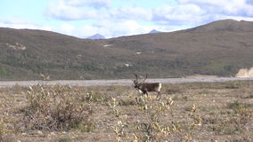 Barren Ground Caribou Bull Zoom in stock video footage