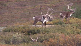 Barren Ground Caribou Bulls in Velvet. In denali national park alaska stock footage