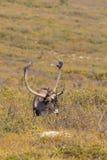 Barren Ground Caribou in Velvet in Alaska Royalty Free Stock Photography