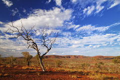Barren Gum Tree in Karijini Stock Photography
