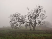 Barren oak tree in winter fog Stock Photos