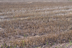 Barren rice field Royalty Free Stock Photography