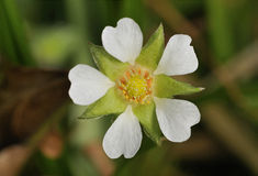 Barren Strawberry Royalty Free Stock Photography