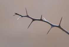 Barren thorny branch Stock Photography