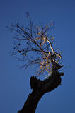 Barren tree against blue sky. Silhouette of barren tree against blue sky, lit by setting sun Stock Photography