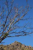 Barren tree against blue sky Royalty Free Stock Image