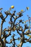 A barren tree bear fruits royalty free stock photography